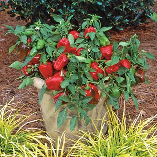 Pepper Redskin