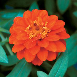 Zinnia 'Profusion Double Fire'