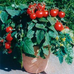 Tomato Balconi Red (Bush/Basket)