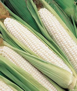 Corn, Silver Choice  Hybrid