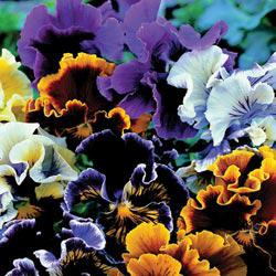 Chalon Supreme Pansy Mix