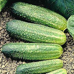 Gurney's Burpless II Hybrid Cucumber