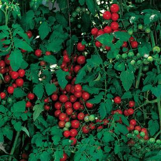 Cherry Sweetie Tomato Plant