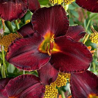 Raspberry Suede Hemerocallis Daylily Plant
