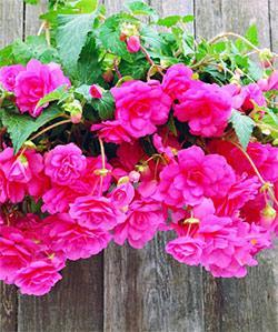 Pink Hanging Basket Begonia - 3 tubers