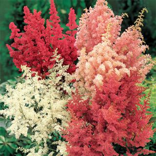 Astilbe Finest Mix