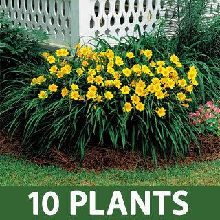 purple de oro hemerocallis daylily plant reviews. Black Bedroom Furniture Sets. Home Design Ideas