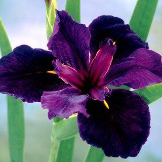 Black Gamecock Iris louisiana Louisiana Iris Plant