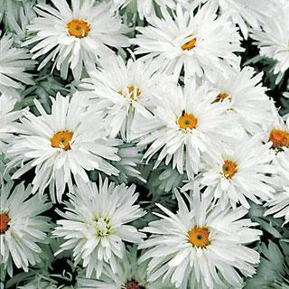 Crazy Daisy Shasta Daisy Plant