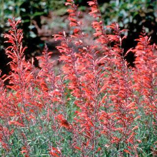 Sonoran Sunset® Agastache Anise Hyssop Plant