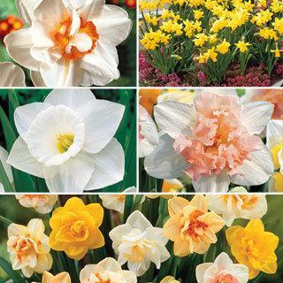 Daffodil Collection Bulb