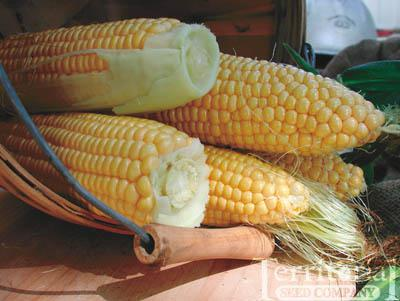 Golden Bantam Corn