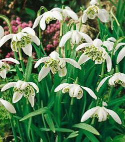 SOLD OUT Flore Pleno Galanthus - 10 bulbs