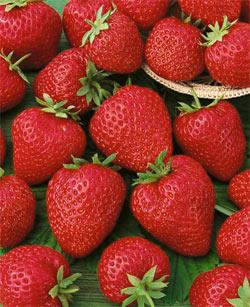 Quinault Everbearer Strawberry Plants - 10 root divisions