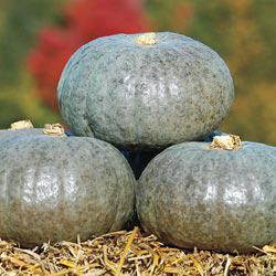 Confection Hybrid Winter Squash