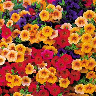 Caribbean Cocktail Single Assorted Pack MiniFamous Calibrachoa Annual Plant Combination