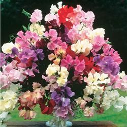 Sweet Pea o. 'Floral Tribute'
