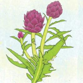 Purple of Romagna Artichoke