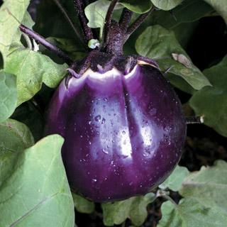 how to get seeds out of eggplant