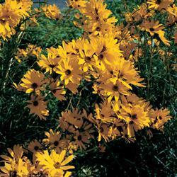 Perennial Sunflower laetiflorus