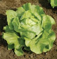 Sylvesta (OG) Butterhead Lettuce