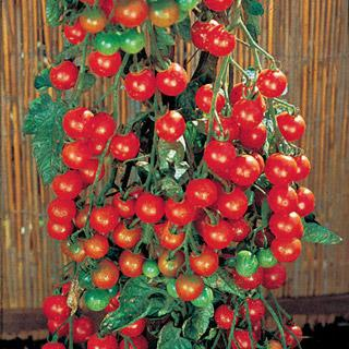 Supersweet 100 Tomato Annual Plants