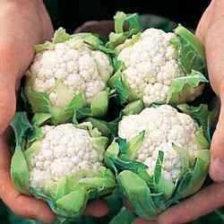 Cauliflower Amazing