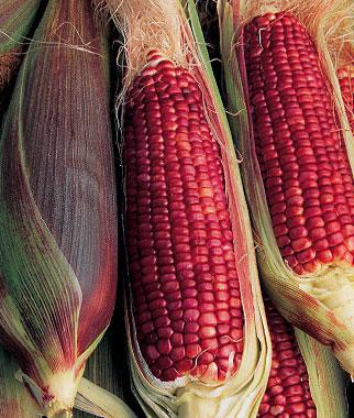Corn, Ruby Queen  Hybrid