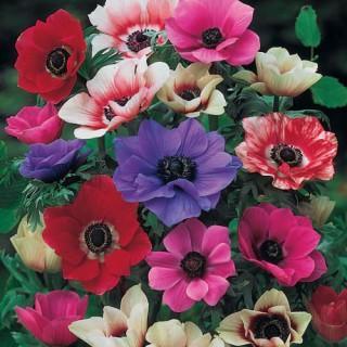Poppy Anemone Mix