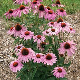 Prairie Splendor™ Echinacea Coneflower Plant