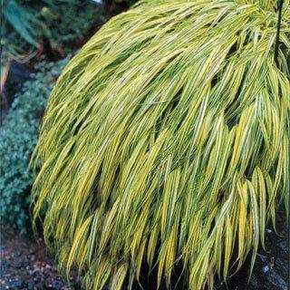 Golden Hakone Grass Plant