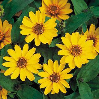 Zinnia Profusion Yellow