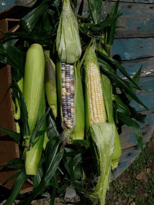 Corn, Festivity, Sweet, Organic