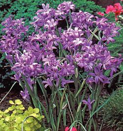 SOLD OUT Sky Blue Lilies - 25 bulbs