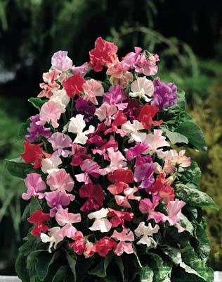 Sweet Pea-Fragrantissima