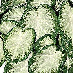 Fancy Leaf Caladium Aaron