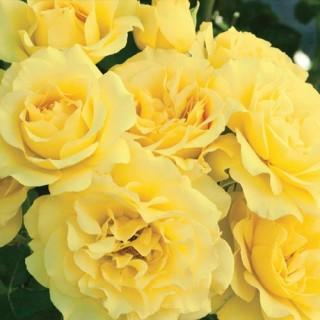 Sparkle & Shine™ Rose