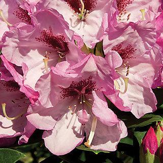 Southgate Radiance Rhododendron Shrub Reviews