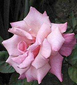 First Prize Hybrid Tea Rose - 1 bare root plant
