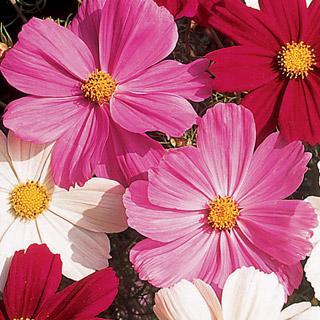 Cosmos Gazebo Pink