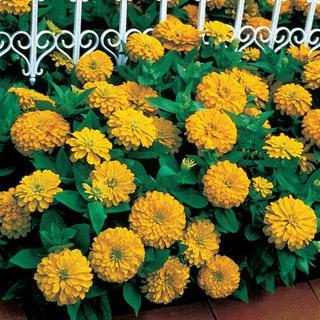 Zinnia Dreamland Yellow Hybrid