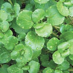 Salad Leaves Watercress