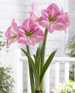 Summertime Amaryllis - 1 bulb