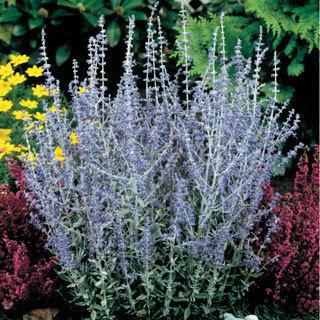 Little Spire Perovskia atriplicifolia Russian Sage Plant