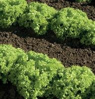 Livigna (Pelleted) Lollo Lettuce