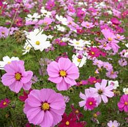 Cosmos Sensation Mix Bulk Seed - 1 pound