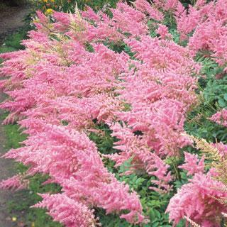 Bressingham Beauty Astilbe Plant