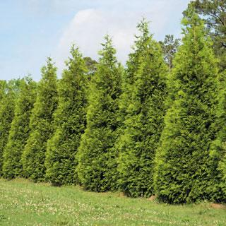Steeplechase Thuja Evergreen Tree