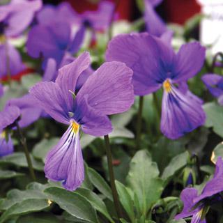 Corsican Violet 'Bastian Blue'