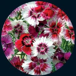Baby Doll - Dianthus